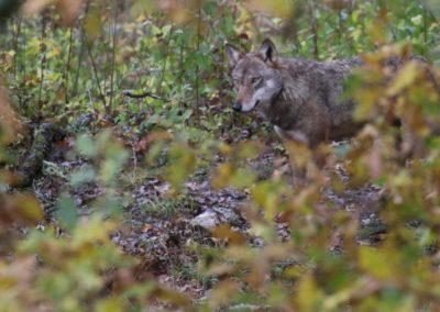 Observation d'un loup