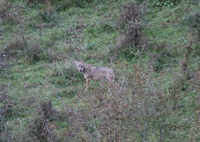 Loups Parc National des Abruzzes