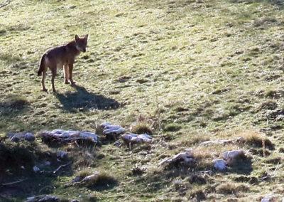 loups Abruzzes