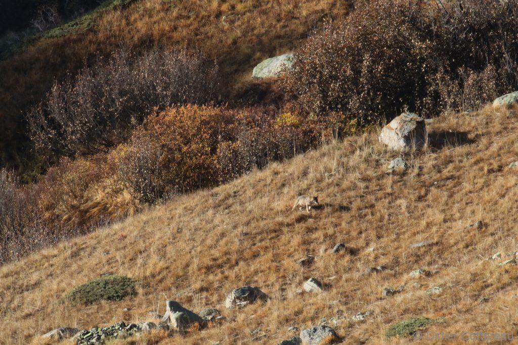 Loups Alpes Françaises