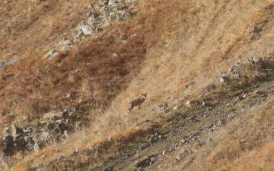 Observation d'une meute de loups