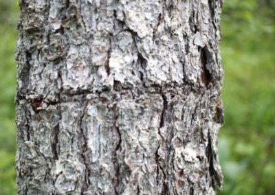 Cernes Pic Tridactyle